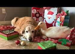 Enlace a Los mejores amigos: perro y pato celebran la Navidad muy juntos