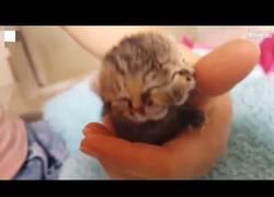 Enlace a El increíble nacimiento de un gatito con dos cabezas en Sudáfrica