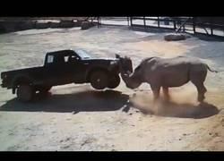 Enlace a El temible ataque de rinocerontes