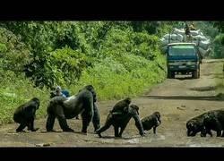 Enlace a Una familia de gorilas espalda plateadas paran el tráfico para poder pasar por la carretera
