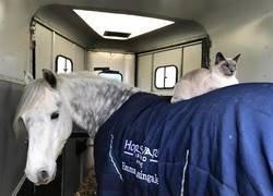 Enlace a Este gato es el más feliz del mundo dando su paseo mañanero encima de un caballo