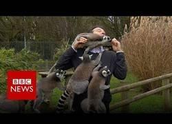 Enlace a Un grupo de lemures ataca a un reportero de la BBC mientras les grababa para un reportaje