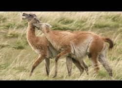 Enlace a Las Alpacas van directas a sus puntos débiles cuando pelean