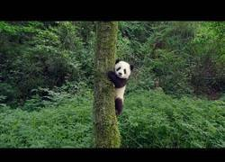Enlace a IMAX presenta en este bonito tráiler su primer documental sobre pandas