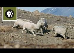 Enlace a La tremenda batalla entre lobos al ver un intruso en su grupo