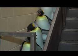 Enlace a El desfile de la Marcha Imperial de pingüinos
