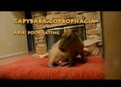 Enlace a El carpincho es el roedor más grande y de los pocos animales que practican la coprofagia con sus propias heces