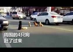 Enlace a Cuatro perros marcan territorio en una carretera a un perrito que ha sido atropellado
