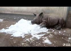 Enlace a La diversión de un rinoceronte al jugar por primera vez en la nieve del zoo de Toronto