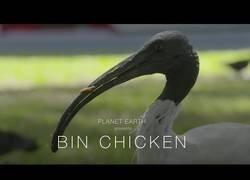 Enlace a El pollo basurero, como su nombre indica, le encanta rebuscar por las basuras