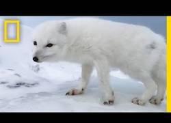 Enlace a La curiosidad de un zorro del ártico a conocer a unos agradables humanos