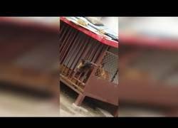 Enlace a El perro más astuto del lugar que se escapó de su propia jaula