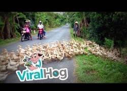 Enlace a Iban tan tranquilos por la carretera hasta que un ejército de patos se cruzó en su camino
