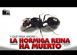 Enlace a Esto es lo que ocurre cuando muere la hormiga reina
