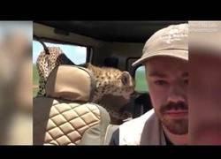 Enlace a El terrible momento en el que estaba tan tranquilo de safari y se le coló un guepardo