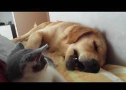 Enlace a La furia de este gatito para despertar al perro que andaba muerto de sueño