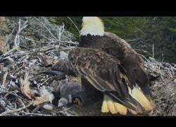 Enlace a Así vivieron esta familia de águilas un terremoto en todo lo alto de su nido
