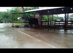 Enlace a La diversión de este bebé de elefante chapoteando en el agua con los charcos en mitad de la lluvia