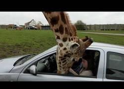 Enlace a El grave incidente con esta jirafa que metió la cabeza en un coche buscando comida