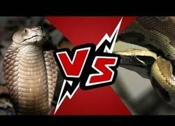 Enlace a La trepidante pelea entre una cobra y una pitón que pudieron filmar unos turistas