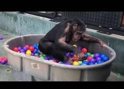 Enlace a La gran diversión de estos chimpancés al jugar metidos en una piscina de bolas