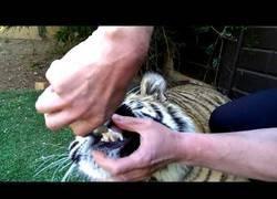 Enlace a La arriesgada misión de quitarle un diente a un tigre