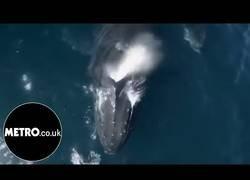 Enlace a Un drone graba a 1500 delfines como se divierten con dos orcas