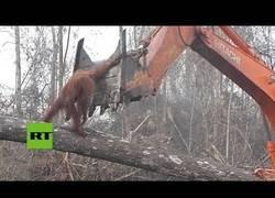 Enlace a Orangután contra una excavadora