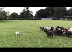Enlace a Este perrito no se ganará la vida intentando organizar a un rebaño de ovejas