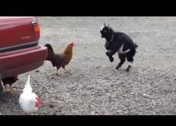 Enlace a La pequeña ovejita que se enfrenta a una feroz gallina