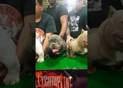 Enlace a Certamen canino