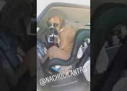 Enlace a Este perro cree realmente que es un humano