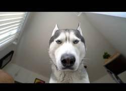Enlace a La divertida mirada de un husky cada mañana cuando te despiertas en la cama