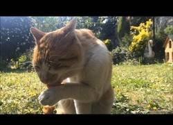 Enlace a El gato que pedía ayuda días después de sanar su patita