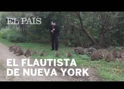 Enlace a Flautista reuniendo mapaches