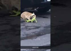 Enlace a Gran como una iguana se pelea con un mapache en plena calle