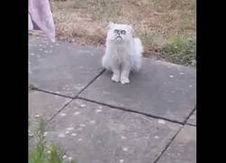 Enlace a Gato mira a su dueño con ojos de loco