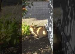 Enlace a Gato atrapa una ardilla tras una persecución