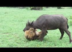 Enlace a León se enfrenta a un búfalo en solitario