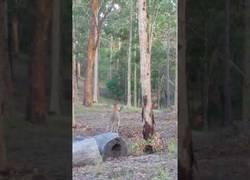 Enlace a Pelea entre dos canguros