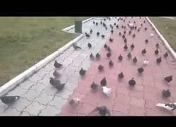 Enlace a La rebelión de las palomas