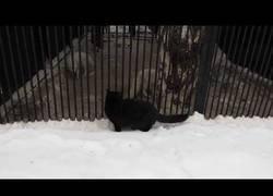Enlace a Esta gata negra forma el terror en este zoo al tener pánico de ella