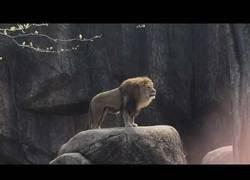 Enlace a El épico rugido de este León en mitad del zoo