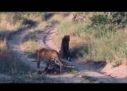 Enlace a Un feroz leopardo iba a atacar a otro y fue pillado en el último segundo