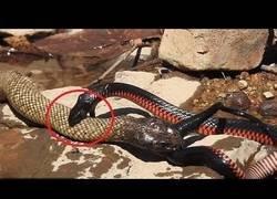 Enlace a La brutal batalla entre dos serpientes venenosas