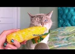 Enlace a Este gatico disfrutando de su mazorca de maíz es lo más placentero que verás hoy