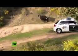 Enlace a Un enorme toro embiste un coche de la Guardia Civil en el campo