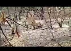 Enlace a Un perro se enfrenta a una feroz leona