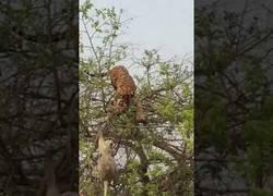 Enlace a Un tigre se cae de un árbol intentando alcanzar a un mono
