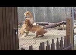 Enlace a Tigre y Ligre tienen una riña